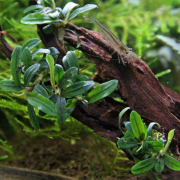 rastlina-za-akvarij-Bucephalandra-Mini-Needle-Leaf