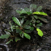 rastlina-za-akvarij-Bucephalandra-Mini-Needle-Leaf-3