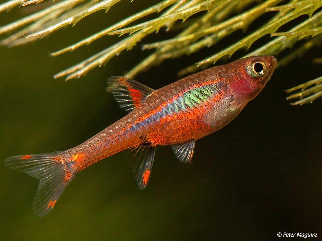 chili rasbora fish - 800×600