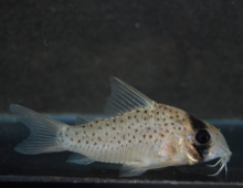 Oklepni-somic-Corydoras-atropersonatus